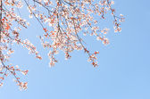 Springtime blooming branches of cherry tree — Stock Photo