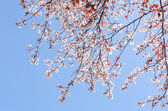 Sunlit spring blossoming cherry tree on the clear blue sky — Stock Photo