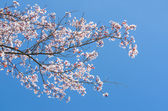 Blossoming at springtime branch of cherry tree — Stock Photo