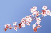 Sakura pink Japanese cherry blossom branch — Stock Photo
