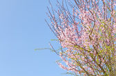 Spring blossoming pink sakura cherry tree — Stock Photo