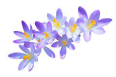 Lilac spring crocus flowers isolated — Stock Photo
