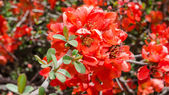 Spring blossoming Japanese quince bush — Stock Photo