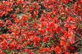 Sunlit spring flowering Japanese quince bush — Stock Photo