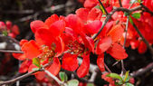 Branch with red spring flowers on the bush — Stock Photo