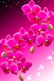 Tropical purple flowers of beautiful orchid — Stock Photo