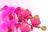Big purple orchid flowers branch on blurred bokeh — Stock Photo