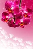 Dark purple orchid flowers on blurred gradient — 图库照片