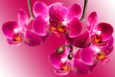 Dark purple orchids on blurred gradient background — Стоковое фото