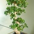 Miniature ficus tree - bonsai Japanese traditional art — Stock Photo #44209761