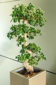 Miniature ficus tree - bonsai Japanese traditional art — Stock Photo