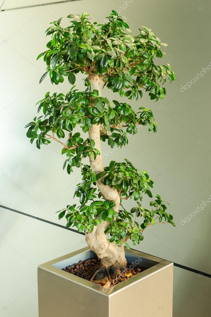 Miniature ficus tree bonsai japanese traditional art for Pflanzen im raum