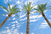 Three date palms against deep blue sky — Foto Stock