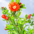 Pomegranate tree blooming with red flowers — Stock Photo #46890721