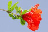 Pomegranate spring blossom vibrant red flowers — Stock Photo