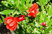 Vivid red spring pomegranate blossom — Stock Photo