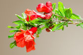 Sunlit branch with spring red pomegranate blossom — Stock Photo