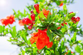 Bush of vibrant pomegranate spring blossom — Stock Photo