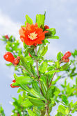 Pomegranate tree blooming with red flowers — Stock Photo