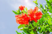 Pomegranate spring blooming branch with backlit red flowers — Stock Photo