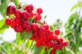 Sunlit branch of cherry berry tree — Stock Photo