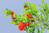 Branches of spring blossomin pomegranate sunlit red flowers — Stock Photo
