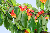 White ripe cherry berry fruits on the tree — Stock Photo