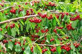 Natural organic cherry berry bunches — Stock Photo