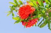 Vibrant red colored Japanese quince — Stock Photo