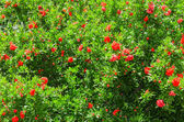 Spring blooming Japanese quince bush — Stock Photo