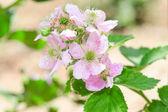 Bunch of blackberry or raspberry spring blossom — Stock Photo