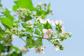 Summer raspberry blossoming bush with purple flowers — Stock Photo