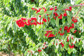 Cherry berry tree in orchard — Stock Photo