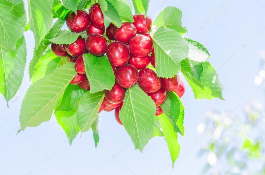 tas de vives fruits rouges de cerise m res sur le soutien gorge arbre ensoleill es de l 39 t. Black Bedroom Furniture Sets. Home Design Ideas