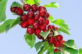 Branch of cherry tree with ripe tasty sweet berries — Stock Photo