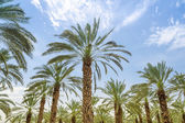 High figs date palm trees in Middle East orchard — Stock Photo