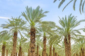 Lush foliage of figs date palm trees on cultivated oasis — Stock Photo