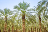 Date figs palm forest or plantation orchard — Stock Photo
