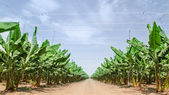 Road stretches to the horizon in palm orchard — Stock Photo