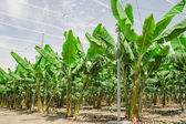Banana palm trees rows on cultivated fruit orchard — Stock Photo