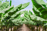 Lush leafage of banana palm trees in orchard plantation — Стоковое фото
