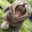 Stock Photo: Yawning Cat