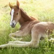 Stock Photo: Foal in morning sun