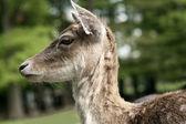 Fallow deer portrait — Stock Photo