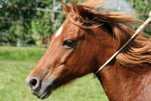 Galloping quarter pony portrait — Stock Photo