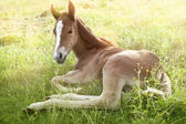 Foal in the morning sun — Stock Photo