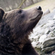 Brown bear portrait — Stock Photo #14509893