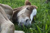 Sleeping quarter horse foal — Stock Photo