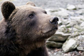 Brown bear portrait — 图库照片
