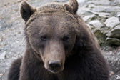 Brown bear portrait — Foto de Stock